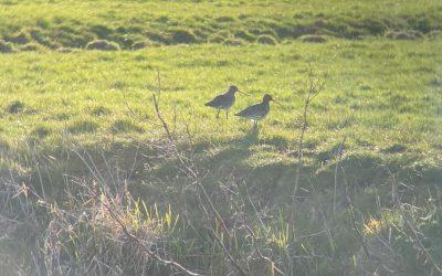 Weidevogels zijn dol op de Rooversbroekpolder