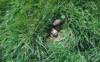 De Groene Klaver neemt extra maatregelen voor weidevogels