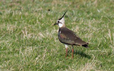 Streven naar optimaal broedgebied voor weidevogels in Lisse